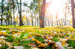 Autumn leafs on green grass in the park with trees and sun rays Stock Photo