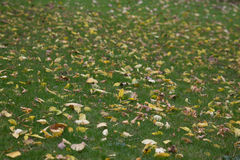 Autumn leafs on the ground background. Many yellow leafs on the grass, in the autumn stock image
