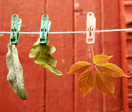 Autumn leafs hang on the rope. Autumn leafs hang on the clothing rope Royalty Free Stock Images