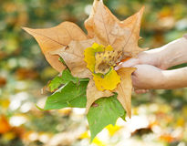 Autumn leafs. Held in hands Stock Image