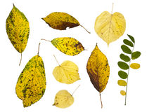 Autumn leafs isolated on white Royalty Free Stock Photo