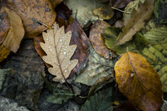 Autumn Leafs Raindrops Autumnal Royalty Free Stock Photo