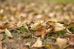 Autumn leafs. Autumn leaves on the ground royalty free stock photos