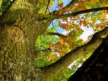 Autumn Leafs na árvore Imagem de Stock Royalty Free