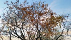 Autumn Leafs na árvore com céu azul Fotos de Stock Royalty Free