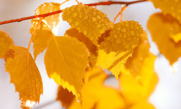 Autumn leafs after rain. (Shallow dof royalty free stock photography