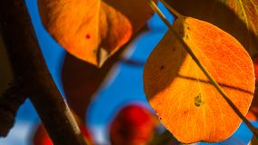 Autumn leafs 2. Some orange autumn leafs from our pear tree royalty free stock photos