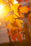 Autumn leafs at sunset Stock Photography