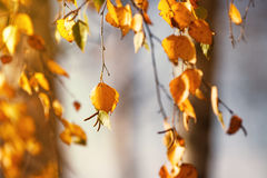 Autumn leafs on tree. Autumn bierch leafs on tree, blurry background Royalty Free Stock Image
