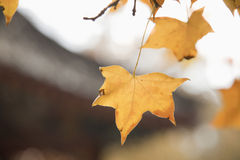 Autumn Leafs on a Tree, Close-up Royalty Free Stock Photos