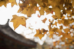 Autumn Leafs on a Tree, Close-up Royalty Free Stock Photo