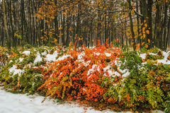 Autumn leafs under first snow. Horizontal photo, photo took in Russian, photo is usable on picture post card, calendar, gardening, for wallpaper Royalty Free Stock Photos