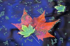 Autumn leafs in the whater Stock Photos