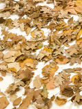 Autumn leafs. On white background Royalty Free Stock Photos