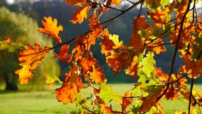 Autumn leafy tree in nature Stock Image
