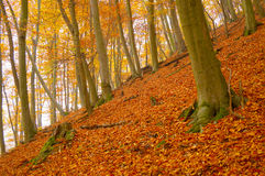 Autumn leafy woods. Autumn woods full of leafs Royalty Free Stock Photography