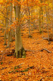 Autumn leafy woods vertical. Autumn woods full of fallen leafs vertical Royalty Free Stock Photo