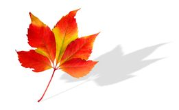Autumn leav. Colorful image of autumn leav separated on white background Stock Images