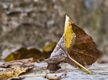 Autumn Leave. Dried leaf fallen from a tree. Typical Autumn scene Stock Photo
