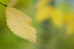 Autumn leave Royalty Free Stock Photo