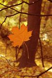 Autumn leave Royalty Free Stock Photography