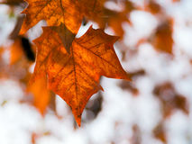 Free Autumn Leave Stock Images - 59687804