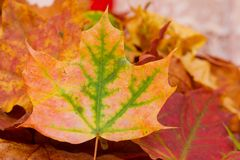 Autumn leave. Colorful autumn leaves this year Stock Images
