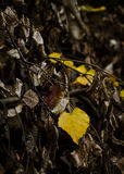 Autumn leave. A couple of golden-yellow colored leaves before winter starts Royalty Free Stock Photos
