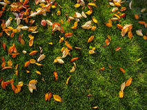Autumn leave on green grass Royalty Free Stock Photo