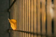 Autumn Leave ha attaccato ad una luce del recinto dal sole dorato fotografie stock libere da diritti