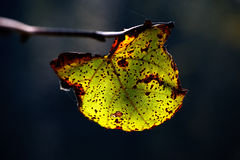 Autumn leave. An autumn leave hanging on a branch Royalty Free Stock Photos