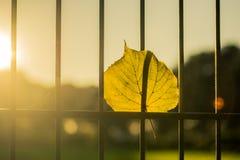 Autumn Leave klibbade i ett staketljus vid den guld- solen royaltyfria foton