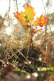 Autumn Leave little tree Stock Photography