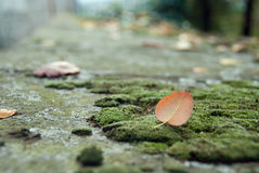 Autumn leave on the moss. Fallen autumn leave on the moss Royalty Free Stock Images