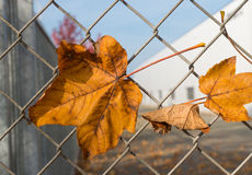 Autumn leave. Yellow maple leaves caught on a wire fence Royalty Free Stock Photo