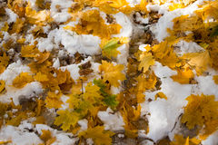 Autumn leaves in а snow Royalty Free Stock Image
