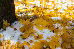Autumn leaves in а snow Royalty Free Stock Photos