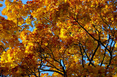 Autumn leaves. Yellow and red autumn leaves stock images