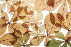 Autumn leaves. Dry leaves of a chestnut of yellow colour Royalty Free Stock Photos