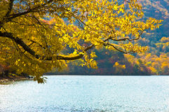 Autumn Leaves. Branch with Golden autumn leaves overhanging a lake.  Contains copy space Royalty Free Stock Photo