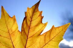 Autumn leaves. Closeup of yellow sharped autumn leaf on blue sky background stock photography