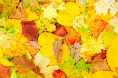 Autumn Leaves. Multi colored fallen autumn leaves background Royalty Free Stock Photo