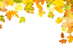 Autumn Leaves. Falling oak and maple leaves on white background Stock Images