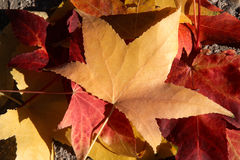 Autumn leaves. Red and orange autumn leaves Royalty Free Stock Images