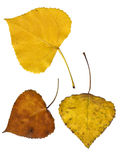 Autumn leaves. Isolated on white background Stock Photo
