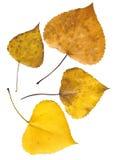 Autumn leaves. Isolated on white background Stock Image
