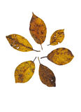 Autumn leaves. Isolated on white background Royalty Free Stock Photography