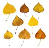Autumn leaves. Isolated on white background Stock Images