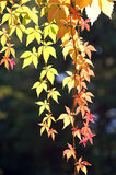 Autumn leaves. Green and orange leaves against dark background Stock Photo