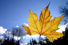 Autumn leaves. Closeup of yellow sharped autumn leaf on blue sky background stock images